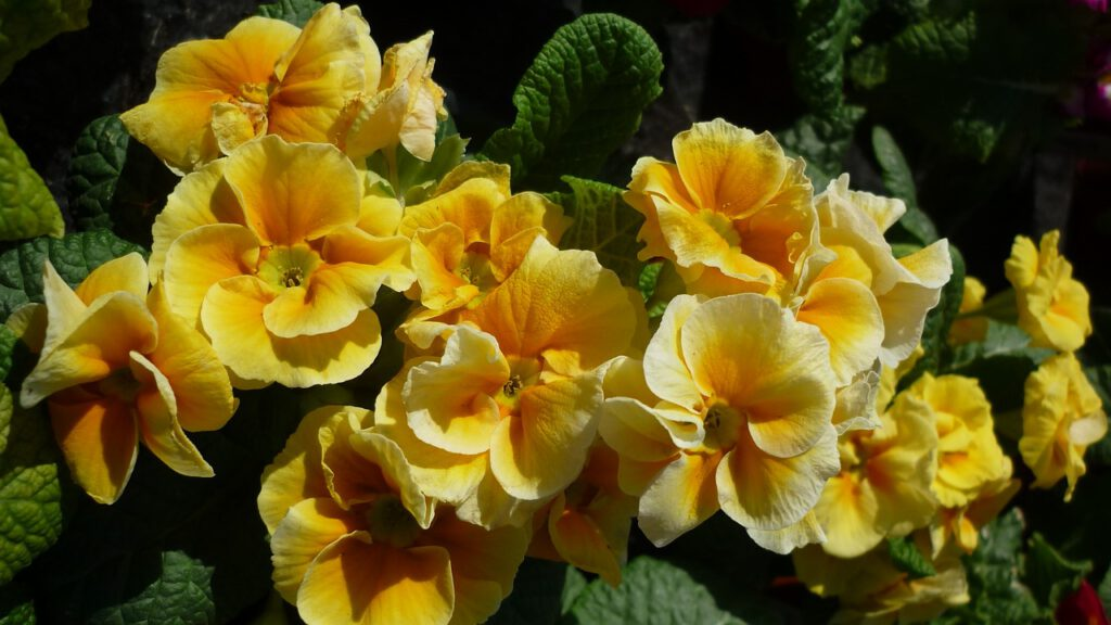 Mother's Day gifts primroses